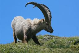 sachrunin_goat.jpg